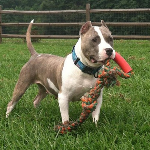 A Happy Healthy American Pit Bull Terrier